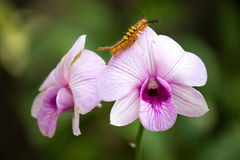 Βιολέτα & Caterpillar Στοκ εικόνες με δικαίωμα ελεύθερης χρήσης
