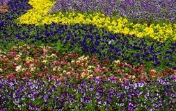 Βιολέτες κήπων. Στοκ Φωτογραφίες