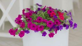 Βιολέτες σε ένα δοχείο Ζωηρόχρωμα διακοσμητικά λουλούδια στο άσπρο δοχείο στην οδό Διακοσμημένος με τα λουλούδια υπαίθριος καφές απόθεμα βίντεο