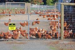 Βιο αγρόκτημα κοτόπουλου ασφάλειας στοκ εικόνες