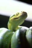 βιρμανίδα εστίαση python Στοκ Εικόνες