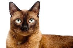 Βιρμανίδα γάτα Στοκ εικόνες με δικαίωμα ελεύθερης χρήσης