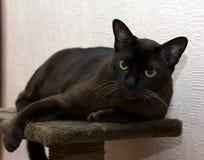 Βιρμανίδα γάτα Στοκ Φωτογραφίες