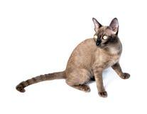 βιρμανίδα γάτα Στοκ φωτογραφίες με δικαίωμα ελεύθερης χρήσης