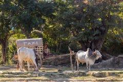 Βιρμανός άτομο με το απλό βόδι-συρμένο κάρρο που χρησιμεύει ως το ταξί που περιμένει τον πελάτη στοκ φωτογραφία με δικαίωμα ελεύθερης χρήσης