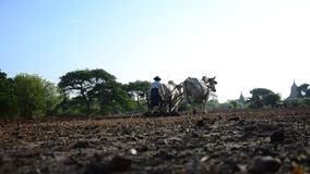Βιρμανός αγρότης με την αγελάδα για τη ρυμούλκηση οργώματος στον ορυζώνα