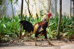 Βιρμανός κόκκορας παιχνιδιού Στοκ Εικόνες