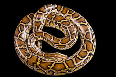 Βιρμανός που απομονώνεται μαύρος python Στοκ Εικόνες