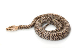 βιρμανός granit python Στοκ Φωτογραφίες