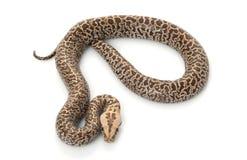 βιρμανός granit python Στοκ Εικόνες