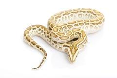 βιρμανός hypo python Στοκ Φωτογραφία