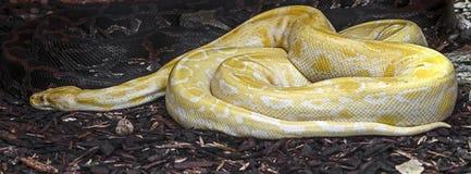 βιρμανός python Στοκ εικόνες με δικαίωμα ελεύθερης χρήσης