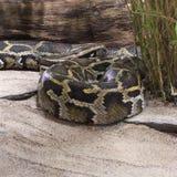 Βιρμανός Python στοκ φωτογραφίες με δικαίωμα ελεύθερης χρήσης