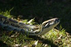βιρμανός python Στοκ φωτογραφία με δικαίωμα ελεύθερης χρήσης