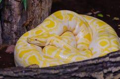 Βιρμανός python Albina python bivittatus molurus στο terrar Στοκ Φωτογραφία