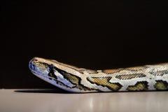 Βιρμανός python, bivittatus Python, κόκκινα στοιχεία καταλόγων IUCN τρωτά, Στοκ Φωτογραφίες