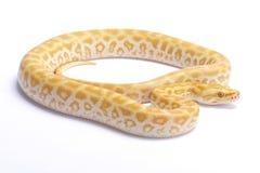 Βιρμανός python, bivittatus Python, labyrint albino Στοκ Φωτογραφίες