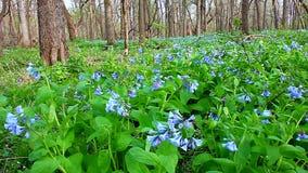 Βιρτζίνια Bluebells στο Ιλλινόις απόθεμα βίντεο