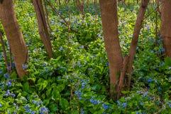 Βιρτζίνια bluebells στο πορθμείο Harper, δυτική Βιρτζίνια Στοκ Φωτογραφία