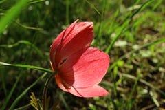 Βλάστηση από το αριστερό του rubrum linum λουλουδιών grandiflorum στοκ εικόνα με δικαίωμα ελεύθερης χρήσης