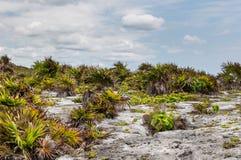 Βλάστηση παραλιών σε Tulum Στοκ Εικόνα