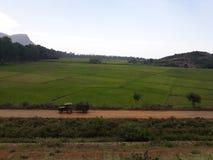 Βλάστηση ρυζιού στοκ εικόνες