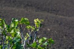 Βλάστηση στους βράχους λάβας, φρούτα σύκων που στο δέντρο σύκων, Timanfa Στοκ Εικόνες