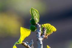 Βλάστηση στους βράχους λάβας, φρούτα σύκων που στο δέντρο σύκων, Timanfa Στοκ φωτογραφίες με δικαίωμα ελεύθερης χρήσης