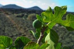 Βλάστηση στους βράχους λάβας, φρούτα σύκων που στο δέντρο σύκων, Timanfa Στοκ φωτογραφία με δικαίωμα ελεύθερης χρήσης