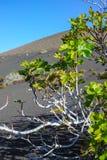 Βλάστηση στους βράχους λάβας, φρούτα σύκων που στο δέντρο σύκων, Timanfa Στοκ Εικόνα