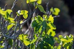 Βλάστηση στους βράχους λάβας, φρούτα σύκων που στο δέντρο σύκων, Timanfa Στοκ εικόνα με δικαίωμα ελεύθερης χρήσης