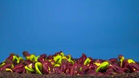 Βλάστηση φασολιών στο μπλε υπόβαθρο φιλμ μικρού μήκους