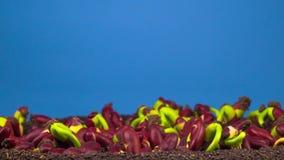 Βλάστηση φασολιών στο μπλε υπόβαθρο απόθεμα βίντεο