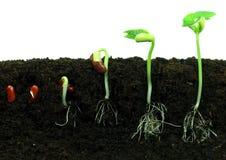 βλάστηση φασολιών στοκ φωτογραφία
