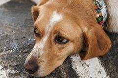 Βλαμμένο σκυλί Στοκ Φωτογραφίες