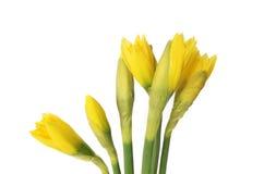 βλαστάνει daffodil στοκ φωτογραφία με δικαίωμα ελεύθερης χρήσης