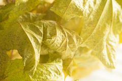 Βλασταίνοντας φύλλα Κινηματογράφηση σε πρώτο πλάνο με τη θαμπάδα και το φως του ήλιου Στοκ φωτογραφία με δικαίωμα ελεύθερης χρήσης