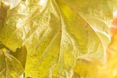 Βλασταίνοντας φύλλα Κινηματογράφηση σε πρώτο πλάνο με τη θαμπάδα και το φως του ήλιου Στοκ φωτογραφίες με δικαίωμα ελεύθερης χρήσης