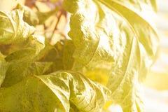 Βλασταίνοντας φύλλα Κινηματογράφηση σε πρώτο πλάνο με τη θαμπάδα και το φως του ήλιου Στοκ εικόνα με δικαίωμα ελεύθερης χρήσης