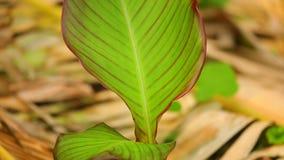 Βλασταημένη κάμερα βράσης φύλλων φυτών κρίνων Canna λεπτομέρεια φιλμ μικρού μήκους