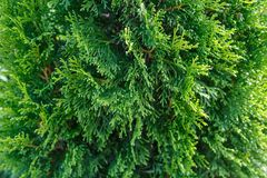 Βλασταημένη όμορφων πράσινων δέντρων Thuja στενή επάνω, μακρο, εκλεκτική εστίαση Ο κλαδίσκος Thuja, occidentalis Thuja είναι ένα  στοκ εικόνες με δικαίωμα ελεύθερης χρήσης