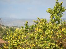 Βλασταημένος ενός δέντρου λεμονιών σε μια ηλιόλουστη ημέρα στοκ φωτογραφία με δικαίωμα ελεύθερης χρήσης