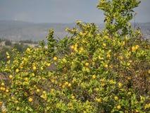 Βλασταημένος ενός δέντρου λεμονιών σε μια ηλιόλουστη ημέρα στοκ φωτογραφίες με δικαίωμα ελεύθερης χρήσης
