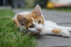 Βλασταημένος του μικρού χαριτωμένου γατακιού άσπρος-πιπεροριζών που βρίσκεται στο έδαφος στοκ εικόνα