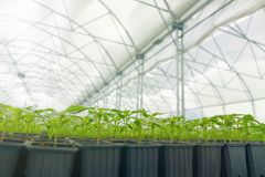 Βλαστημένα πιπέρια Σε δοχείο πιπεριών πάπρικα φύλλων σποροφύτων πράσινη Στοκ Εικόνες