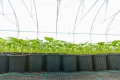 Βλαστημένα πιπέρια Σε δοχείο πιπεριών πάπρικα φύλλων σποροφύτων πράσινη Στοκ Εικόνα