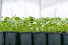 Βλαστημένα πιπέρια Σε δοχείο πιπεριών πάπρικα φύλλων σποροφύτων πράσινη Στοκ Φωτογραφία