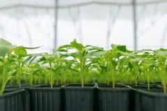 Βλαστημένα πιπέρια Σε δοχείο πιπεριών πάπρικα φύλλων σποροφύτων πράσινη Στοκ εικόνα με δικαίωμα ελεύθερης χρήσης