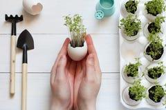 Βλαστημένοι νεαροί βλαστοί σε ένα κοχύλι αυγών στα θηλυκά χέρια Στοκ φωτογραφία με δικαίωμα ελεύθερης χρήσης
