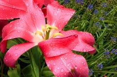 Βλαστημένο ρόδινο λουλούδι τουλιπών στοκ εικόνες